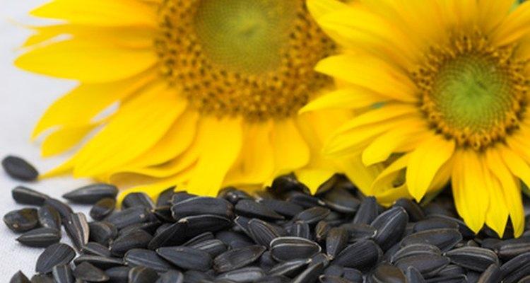 Las semillas de girasol tienen demasiado contenido graso como para formar parte del consumo regular del loro gris africano.