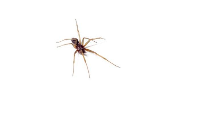 Um número de espécies de aranhas geralmente entra em nossas casas