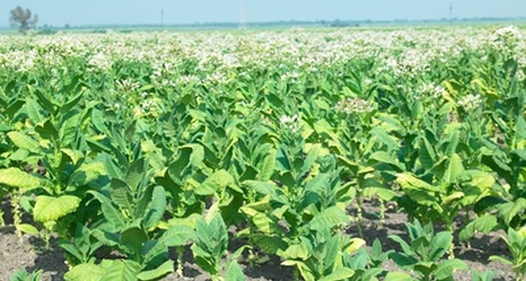 En las plantas, los virus detienen el crecimiento, causan decoloración, distorsión y formación anormal de frutas o flores.