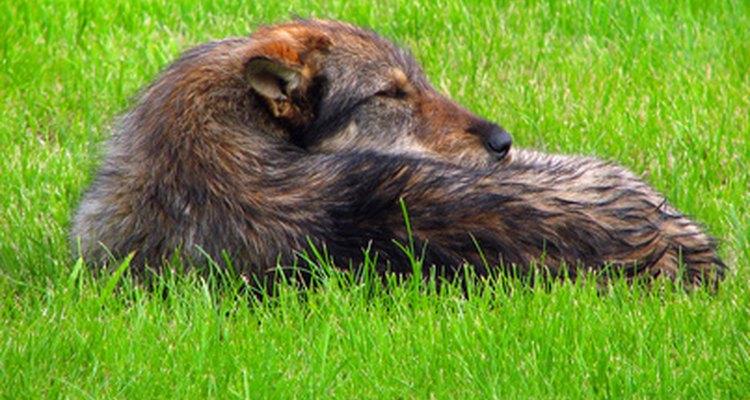 Un perro con una alergia, como el polen o las pulgas, pueden ser la causa de una decoloración de la piel debido a la masticación o rascarse.