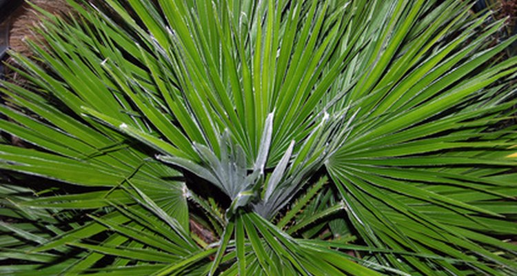 Fan palms earn their name from their foliage.