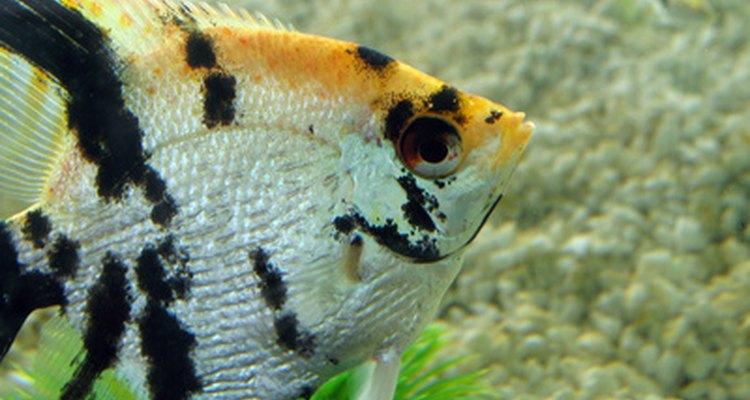 Un pez ángel marmoleado muestra sus prominentes colores amarillo, blanco y negro.