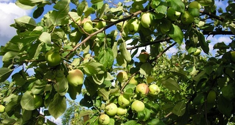 Apple tree producing fruit.