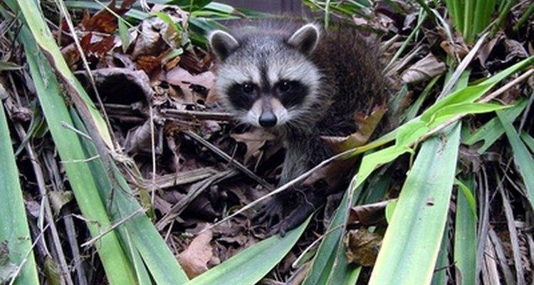 Los mapaches bebés deben ser tratados con cuidado, ya que muchos de ellos tienen rabia.