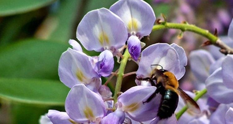 Las glicinas atraen a las abejas y otros polinizadores.