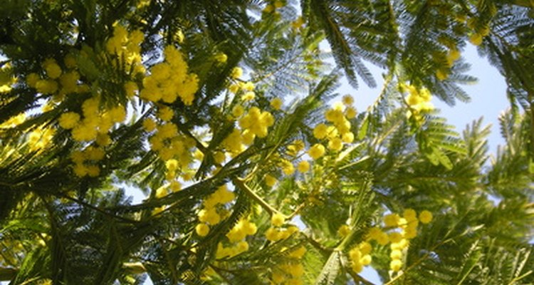É ilegal vender ou usar Mimosa hostilis