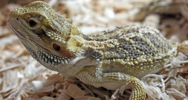 Many reptiles eat dried mealworms.
