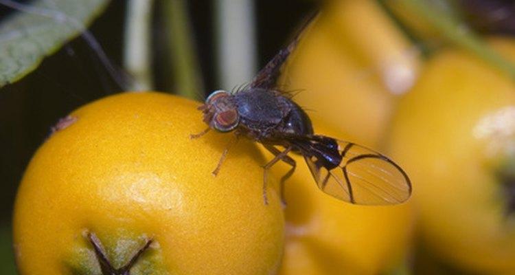 La mosca de la fruta también se considera una plaga.