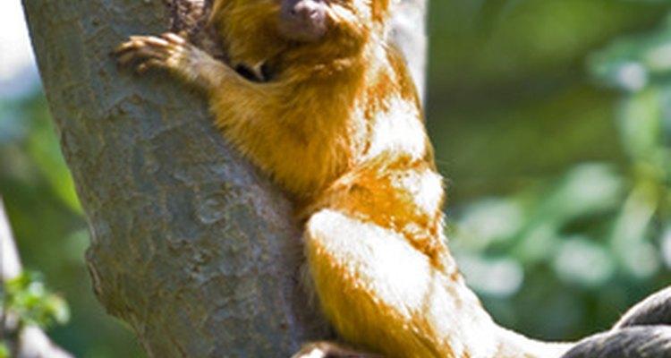 """En 2003, el tamarino león dorado estado fue cambiado de """"en peligro crítico"""" a """"en peligro""""."""