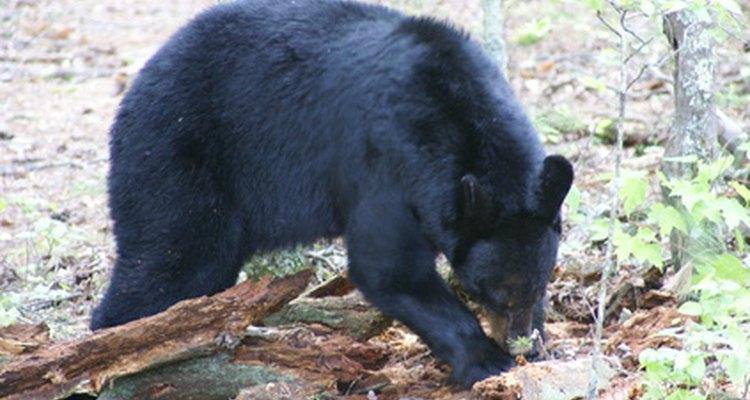 Os ursos são grandes o suficiente para derrubar uma garça se quiserem