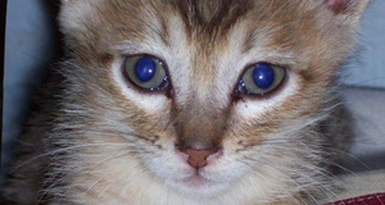 Um gatinho brincalhão pode mirar no nariz de seu dono