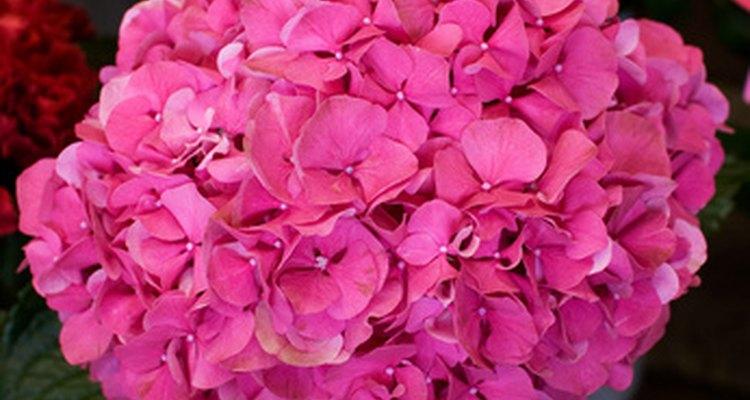 Cachos vistosos e perfumados fazem da Flox a parte mais importante do jardim