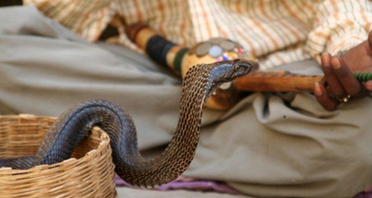 Las cobras pueden matar a un elefante con la cantidad de veneno en su mordedura.