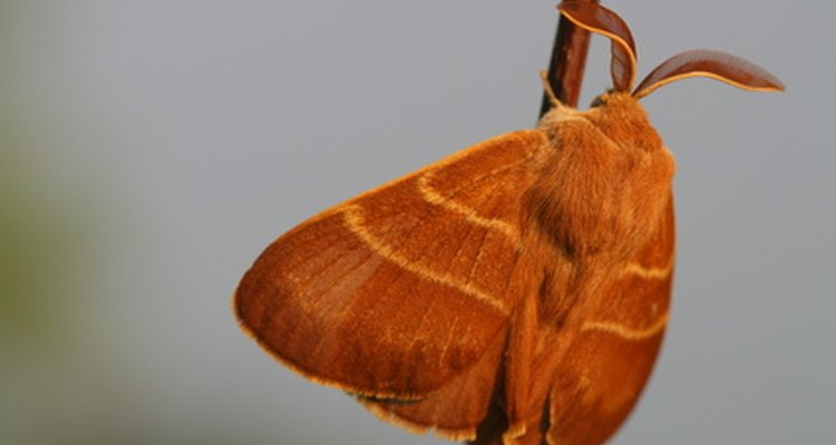 Use borax to effectively rid your home of moths.