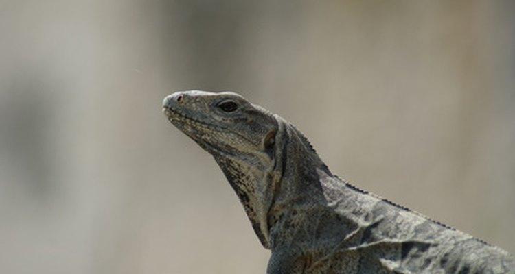 Reproducción de los reptiles.