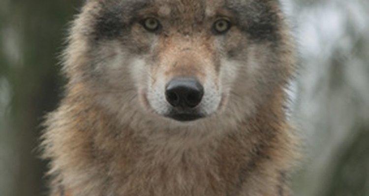 Cómo cuidar a un lobo cachorro