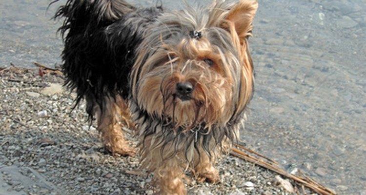 Cães de pelo longo podem desenvolver emaranhados em sua pelagem