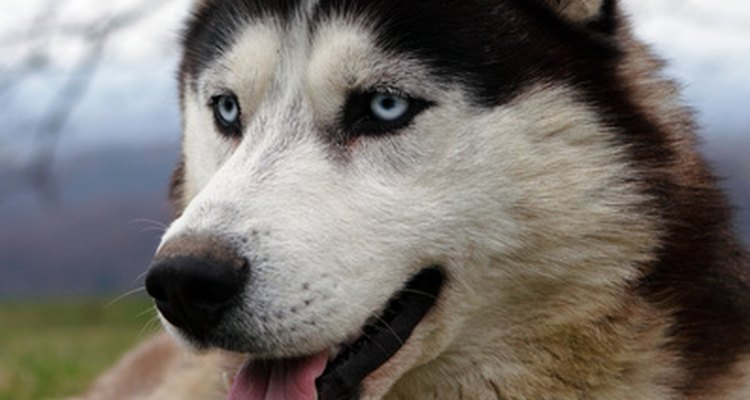 Siberian huskies are a popular breed used in dryland training.