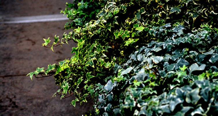 English ivy thrives in areas without full sunshine.
