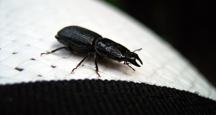 Common black ground beetles are beneficial to homes and gardens.