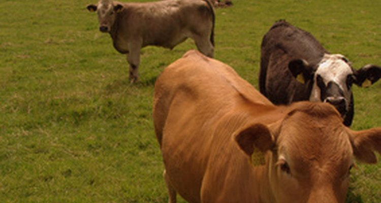 The skin of cows and pigs is used to make leather.