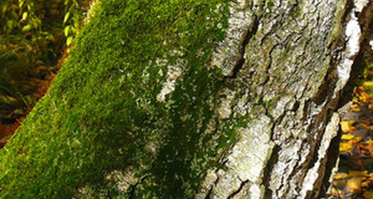 O musgo verde pode crescer em árvores, rochas e também no solo