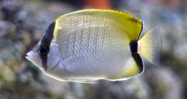 El nivel puede variar en función del tipo de pecera y del tipo de pez.