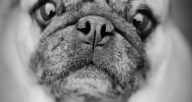 La morfina es prescrita comúnmente para aliviar el dolor canino.