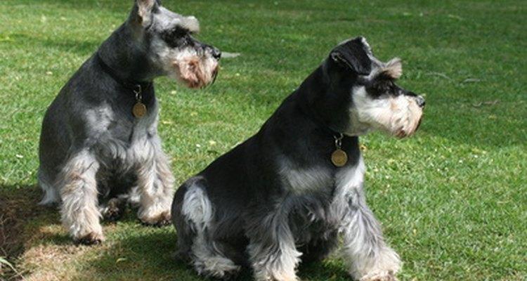 Hay tres razas de schnauzer reconocidas por el American Kennel Club.