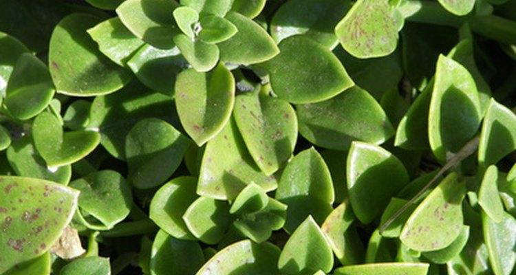 Jade:  The Friendship Plant