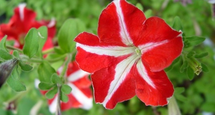 Provide care for wilting petunias.