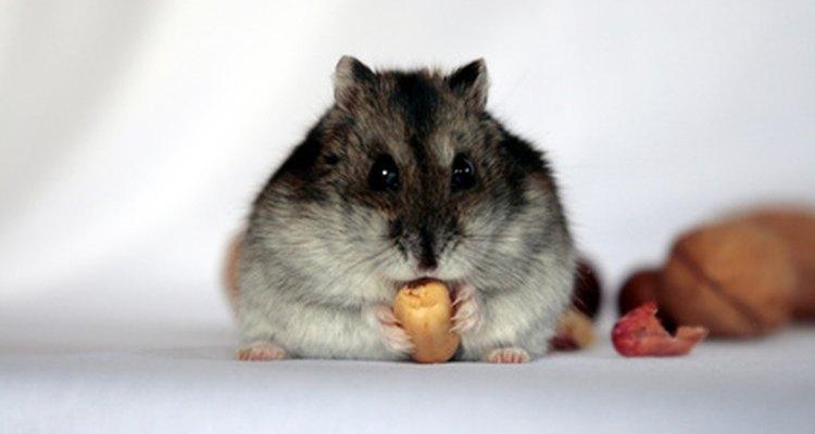 Pneumonia em hamsters precisa ser tratada imediatamente