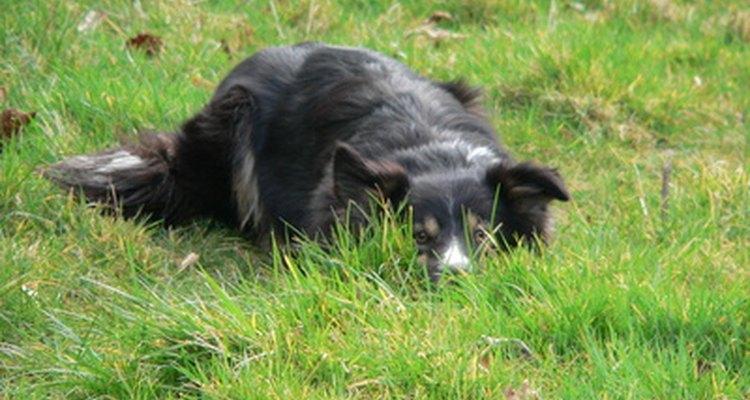 A algunos perros les gusta oler y saborear la hierba.