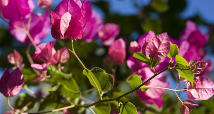 Al igual que otras flores, los colores llamativos de la buganvilia pueden atraer a los insectos.