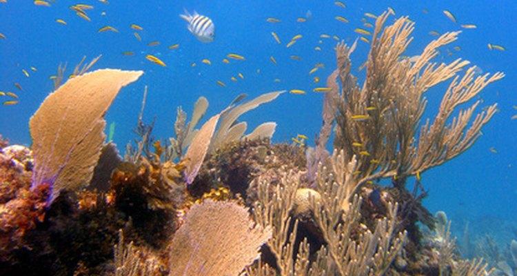 En el mar Caribe crecen diversos grupos de plantas.