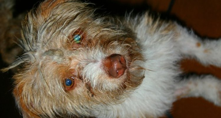 Muchas condiciones se tratan con facilidad, lo que puede traer rápido alivio a tu perro, mucho más de lo que haría un chorrito de Visine.
