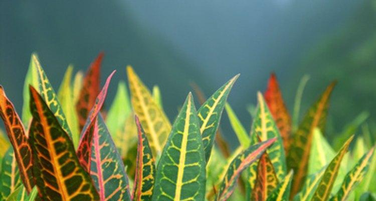 Los colores del follaje de la Croton Petra varían dependiendo de la edad y la madurez.