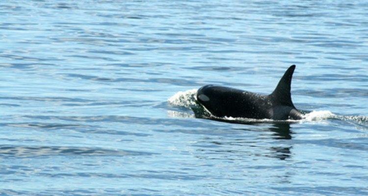 A baleia assassina recentemente se tornou um predador ameaçador das lontras