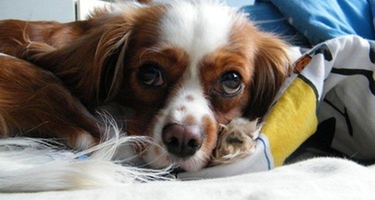 La vitamina B6, un diurético natural, alivia la retención de líquidos en los perros con insuficiencia cardíaca congestiva.