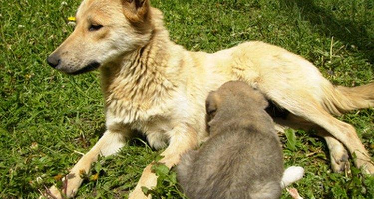 Los cachorros requieren leche materna durante al menos seis semanas.