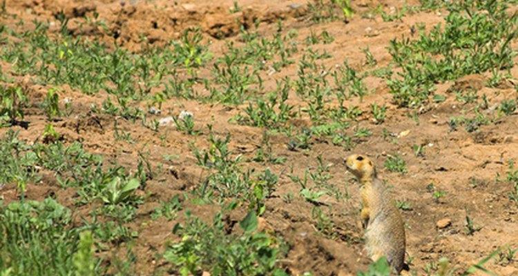 Las ardillas de tierra y otros roedores de madriguera pueden dañar suelos y jardines.