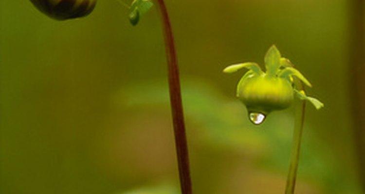 Los pimpollos continuarán floreciendo si se les proporciona azúcar.