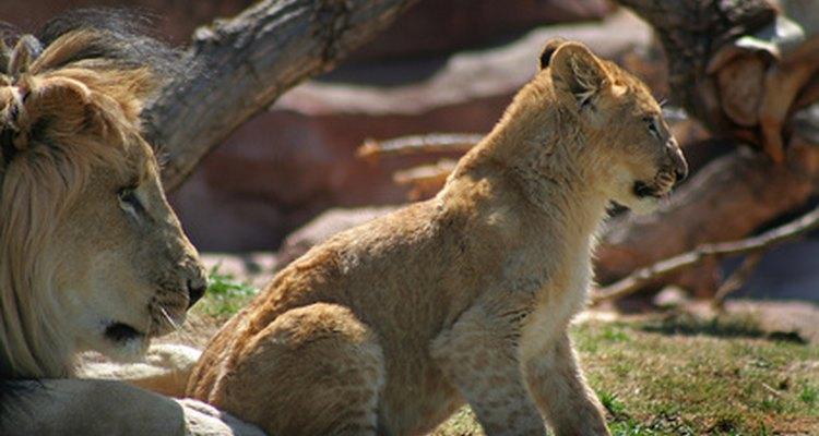 La manada obliga a que los cachorros de león machos se vayan.