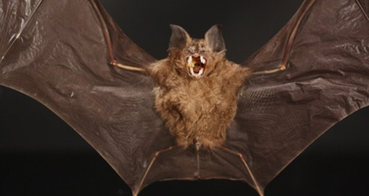 Getting rid of bats in your roof is best done in springtime.