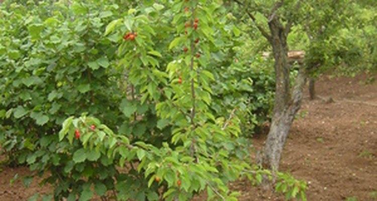 Mudas são cultivadas a partir de sementes ou corte de raízes.