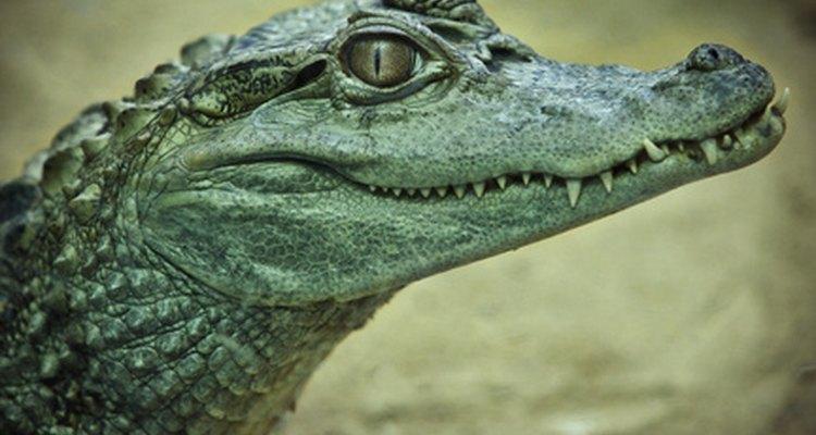 Un metabolismo más bajo permite a los cocodrilos pasar más tiempo esperando a su presa.