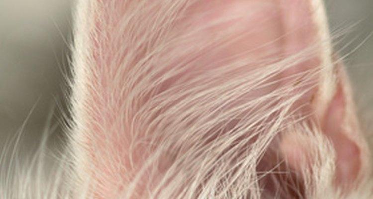 Veias circulam pelas orelhas do seu gato