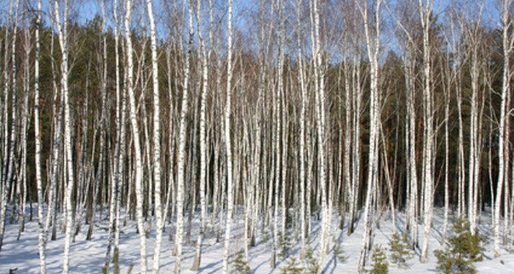 Tall, thin and leafless in the winter, birches look better in groups.