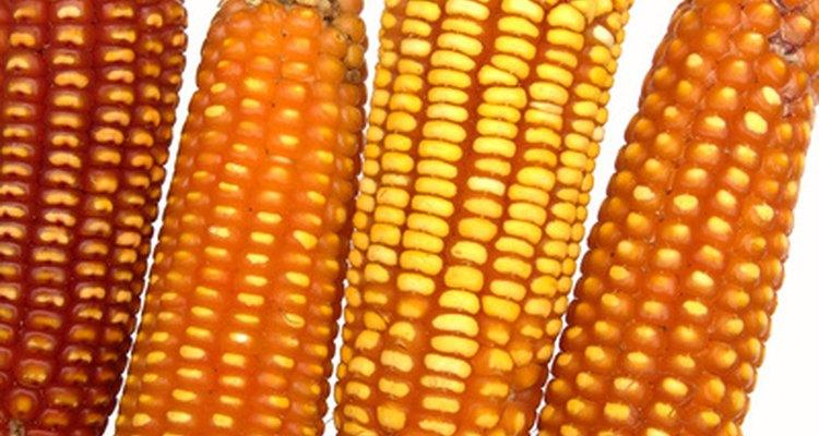 El maíz es uno de los cultivos básicos más importantes del mundo.