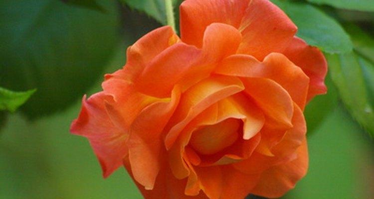 Las rosas naranjas son elecciones populares para ramos y arreglos.